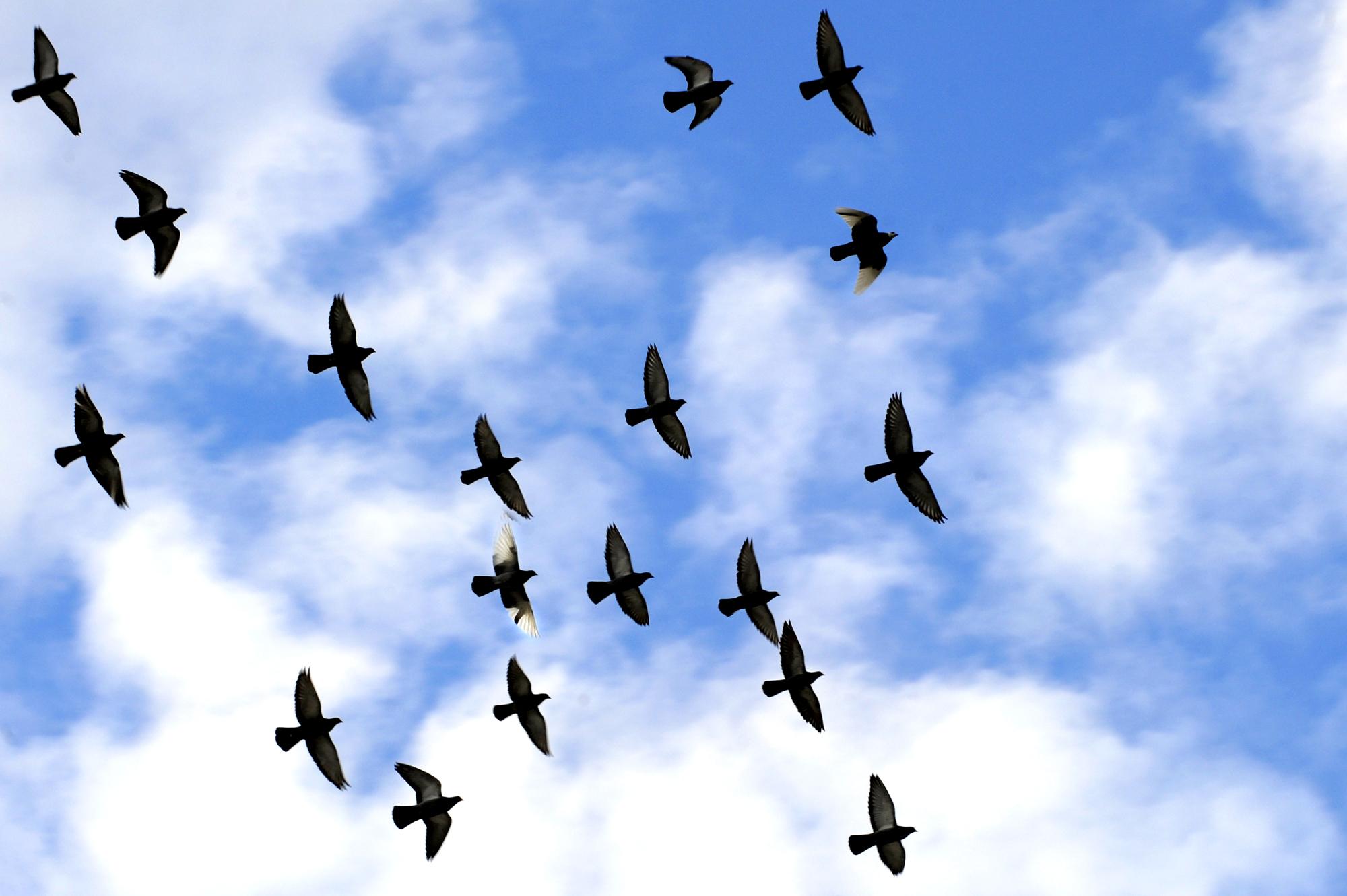 Samling af flyvende fugle (36)